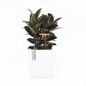 [N15]멜라니고무나무(시멘)