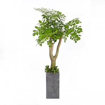 [N15]해피트리(행복나무)(시멘)A형