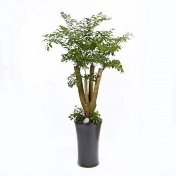 [N15]해피트리(행복나무)B형