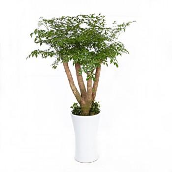 [N15]해피트리(행복나무)C형